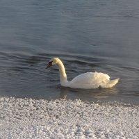 Лебедь :: veera (veerra)