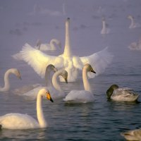 Лебединое озеро! :: Александр Корников