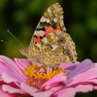 Бабочка на цветке :: Paparazzi