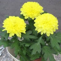 Три желтых хризантемы :: Дмитрий Никитин