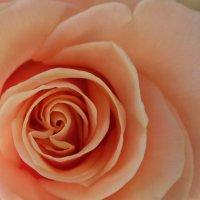 Роза :: Ira Chupryna