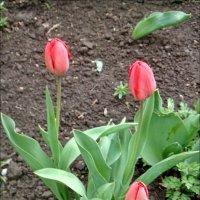 Весна рисовала милую сердцу картину… :: Нина Корешкова