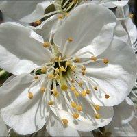 Цветочек вишни :: Нина Корешкова