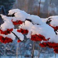 Рябина под снегом :: Нина северянка