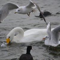Лебеди  и чайки :: Елена