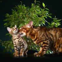 Бенгальский кот :: Жанна Руссо