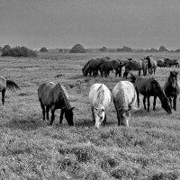 Табун лошадей :: Валерий Толмачев