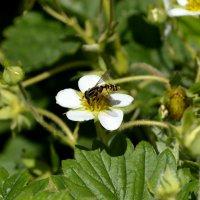 пчела :: Александра Беляева