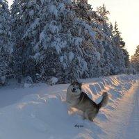 Аляскинский маламут :: Елена Мулляр