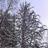 В лесу родилась ёлочка... :: muh5257