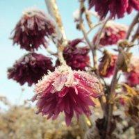 Корейские хризантемы покрылись инеем.2 :: Svetlana Baglai