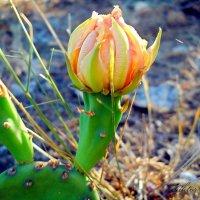 Цветок кактуса :: Виктор Шандыбин