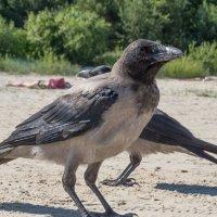 Вороны на пляже :: MVMarina