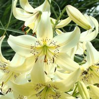В саду лилий :: Swetlana V