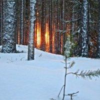 солнце уходит за лес... :: Елена