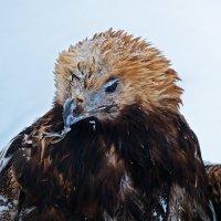 Портрет орла зимой :: Александр Запылёнов