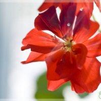 Цветок герани :: Тамара