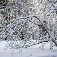 Березка в зимней одежке. :: Александр Рейтер