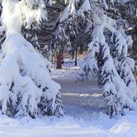 Белым снегом ели припорошены... :: Елена Ярова