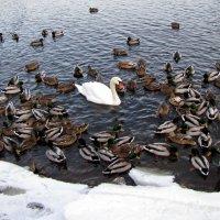 Утки плюс лебедь :: veera (veerra)