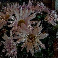 Хризантемы, как ромашки... :: Нина Корешкова