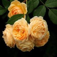 Неувядаемая роза :: Swetlana V