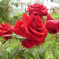 Розы :: Танцюра Татьяна