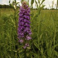 Орхидеи средней полосы - Ятрышник мужской (Orchis mascula L.). :: Людмила Василькова