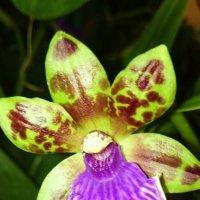 Орхидея :: Galina194701