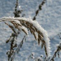 отдыхающие на колоске снежинки :: Сергей Цветков