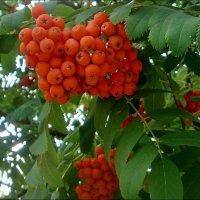 Рябиновые грозди :: Нина Корешкова