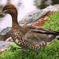 Австралийская гривистая утка. :: Антонина