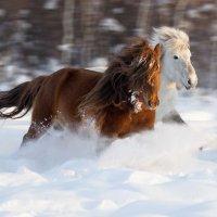 Якутские лошади :: Михаил Потапов