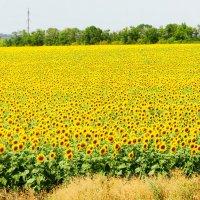 Желтое поле :: Ольга Чирятникова