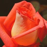 Дивная роза :: Swetlana V