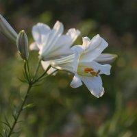 Белая лилия :: Елена Ахромеева