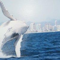 Миграция китов в ГолдКосте.Австралия :: Антонина