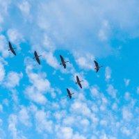 Гуси в небе Торонто.... :: Юрий Поляков