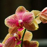 Орхидея. :: Павел Коротун