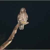 Иглоногая сова :: vovafritz