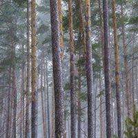 Сосновый рай :: Сергей Корнев