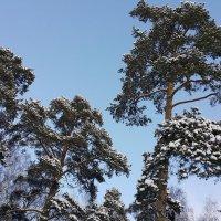 Сосны в шапках снега :: Длинный Кот