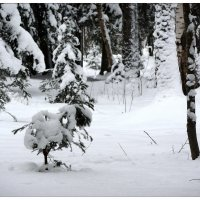 3....в лесу родилась ёлочка, попробуй наряди))) :: sv.kaschuk