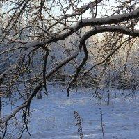 Осыпались яблочки в снег... :: Наталья Лунева