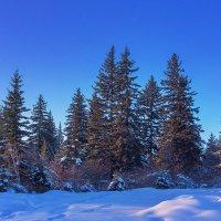 Еловый лес :: Анатолий Иргл