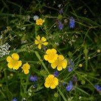 Лютики-цветочки :: Татьяна Бронзова