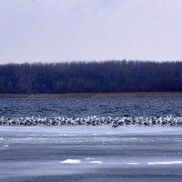 Птицы на льду :: Алексей Климов