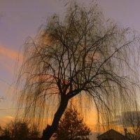 старая ива на закате :: Александр Прокудин