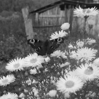 Павлиний глаз :: Ирина Пирогова