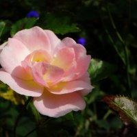 Цветок, прекрасный точно жизнь,расцвел сегодня на рассвете …Он нежен словно ангел был… :: Елена Ярова
